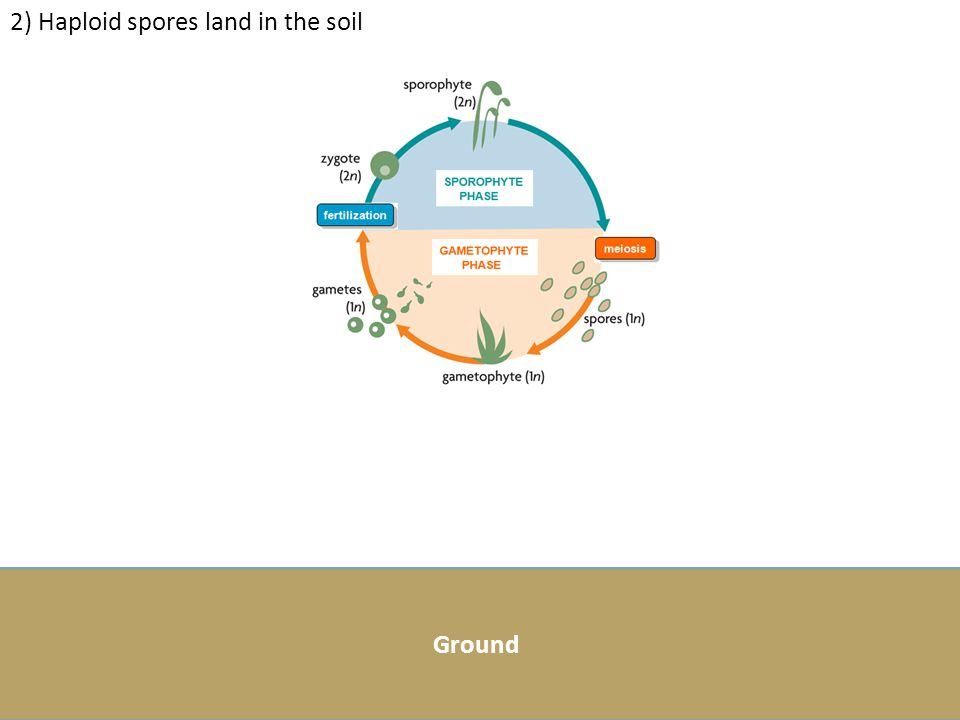 2) Haploid spores land in the soil