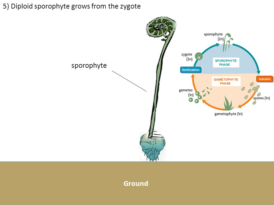 5) Diploid sporophyte grows from the zygote