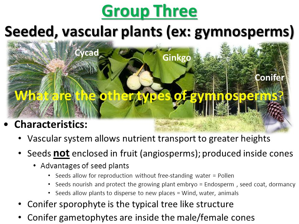Group Three Seeded, vascular plants (ex: gymnosperms)