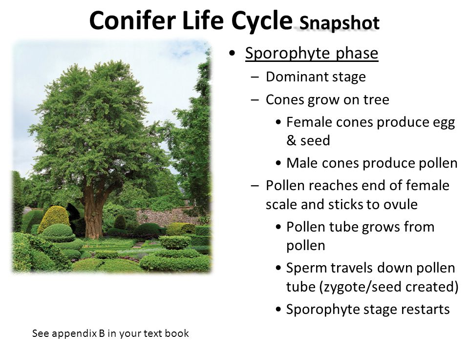 Conifer Life Cycle Snapshot