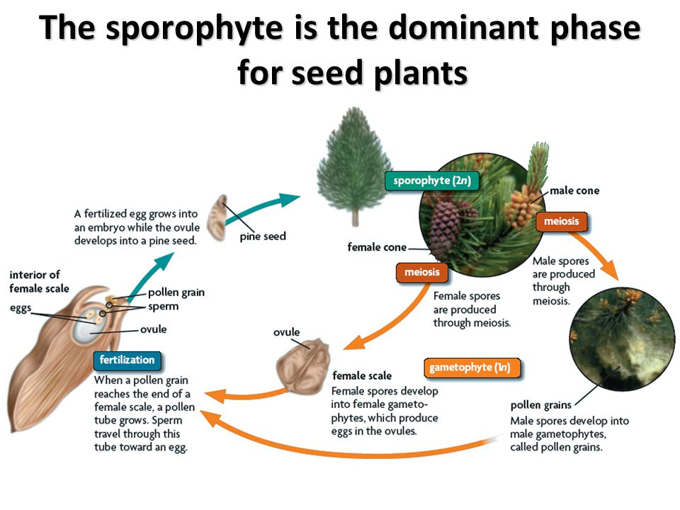 The sporophyte is the dominant phase for seed plants