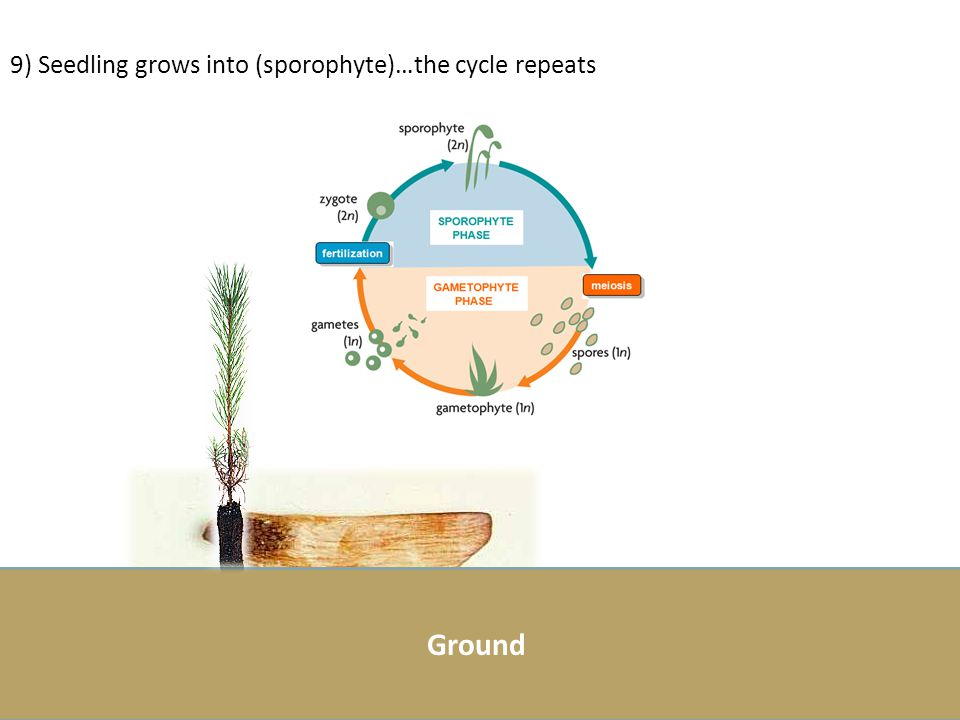 9) Seedling grows into (sporophyte)…the cycle repeats
