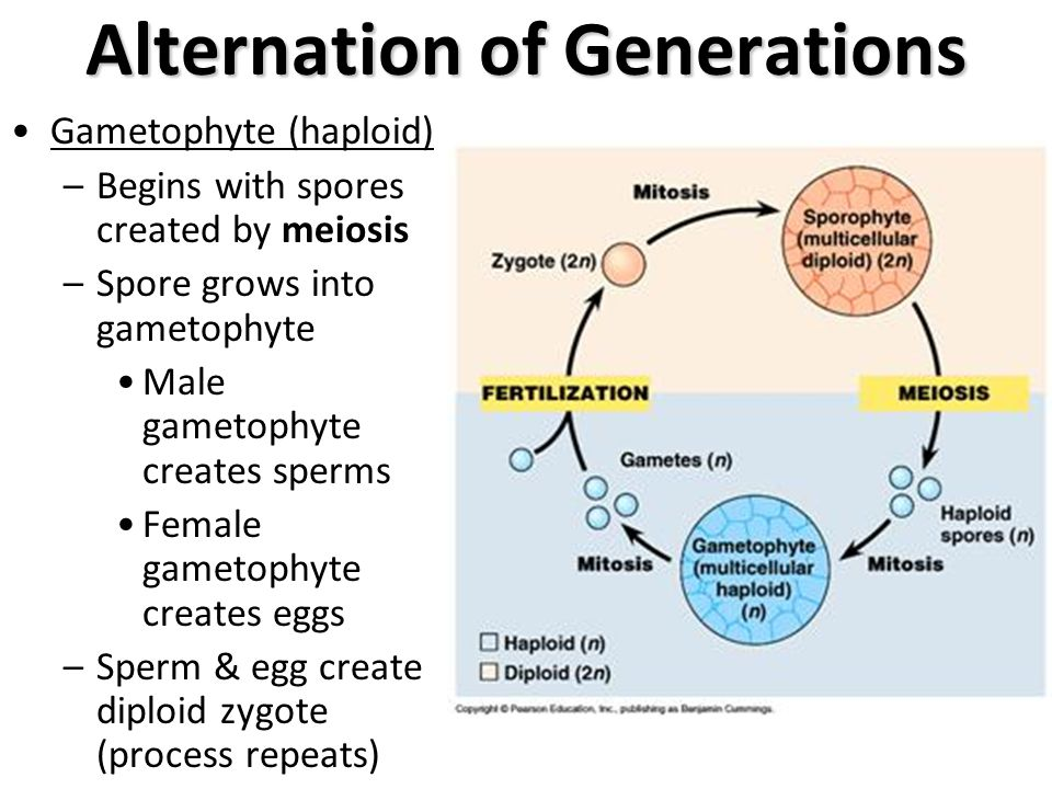 the alternation of generations in gametophytes Plants ii - non-vascular and seedless vascular plants alternation of generations is haploid (1n) this is the plant body that is most often observed in the figure there are separate male and female gametophytes however.
