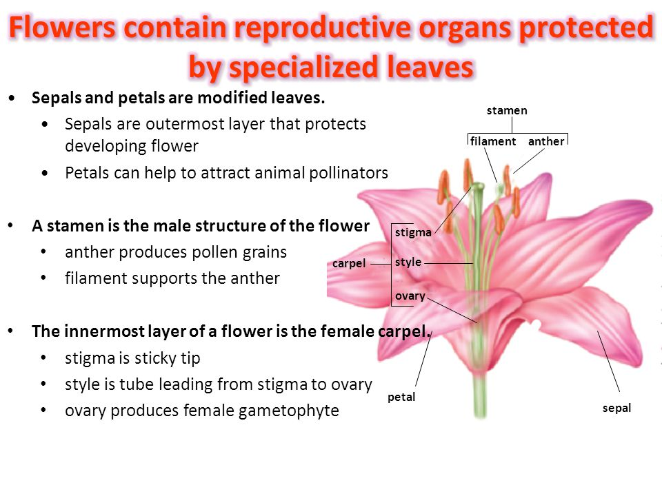 Flowers contain reproductive organs protected by specialized leaves