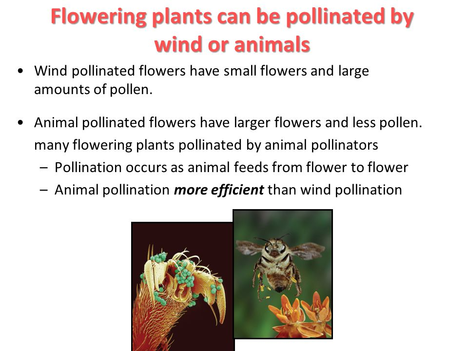 Flowering plants can be pollinated by wind or animals
