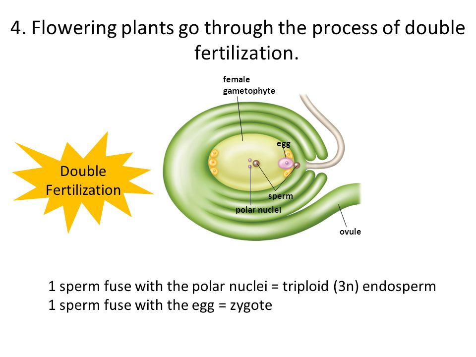 4. Flowering plants go through the process of double fertilization.