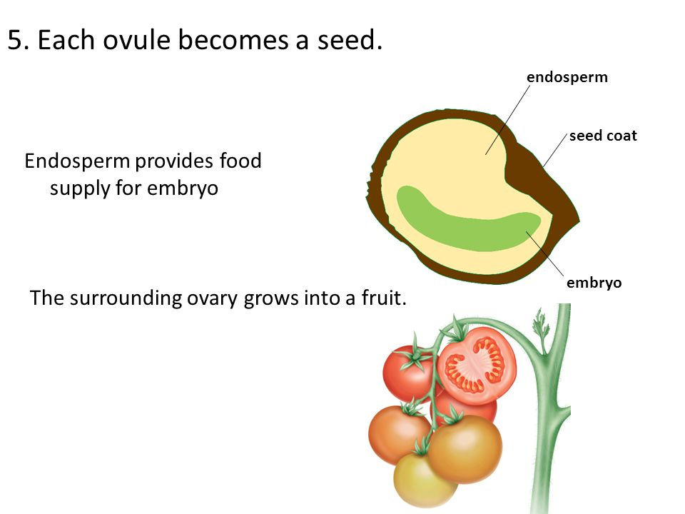 5. Each ovule becomes a seed.