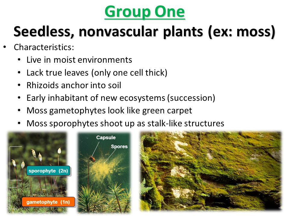 Group One Seedless, nonvascular plants (ex: moss)