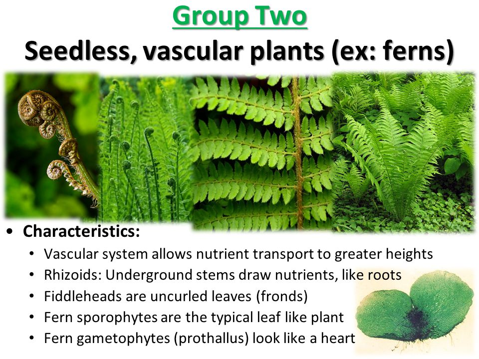 Group Two Seedless, vascular plants (ex: ferns)