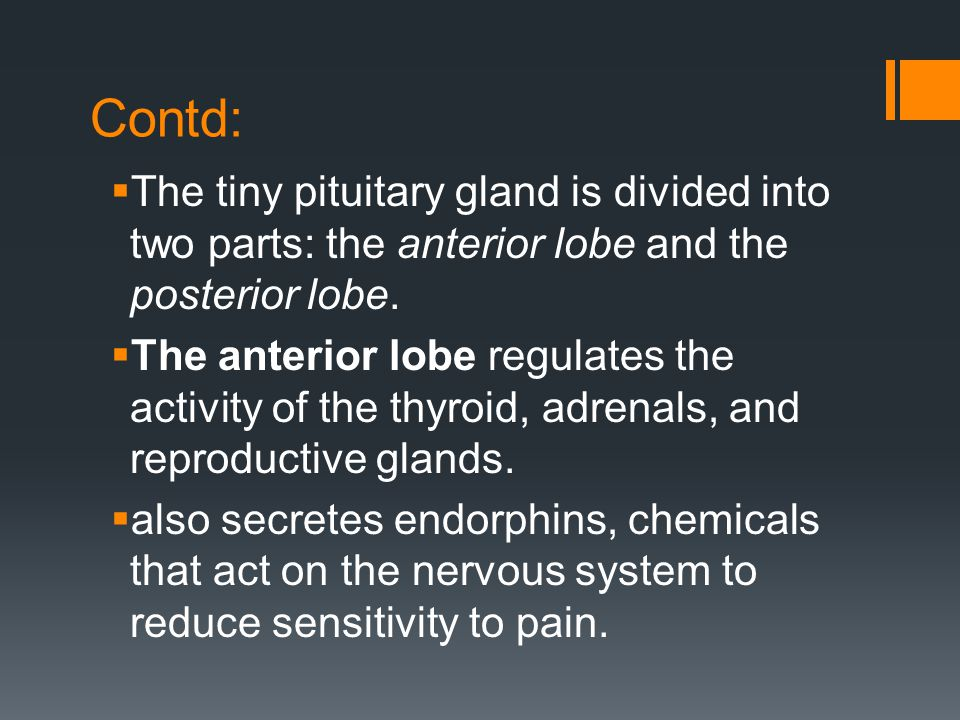 Contd: The tiny pituitary gland is divided into two parts: the anterior lobe and the posterior lobe.