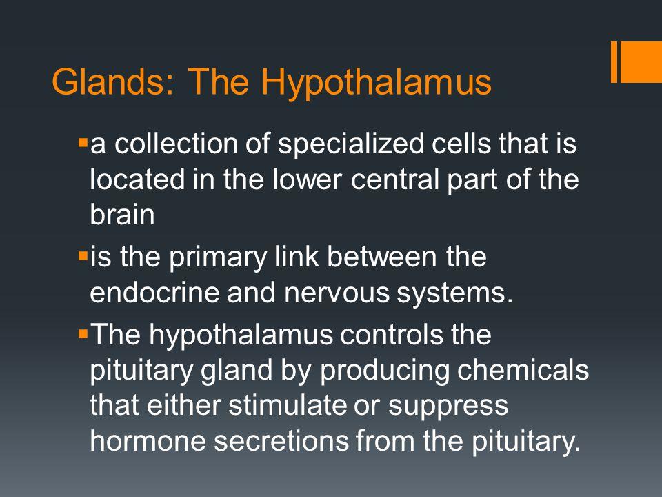 Glands: The Hypothalamus