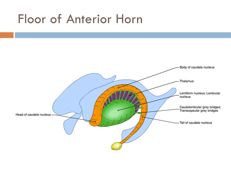 Floor of Anterior Horn