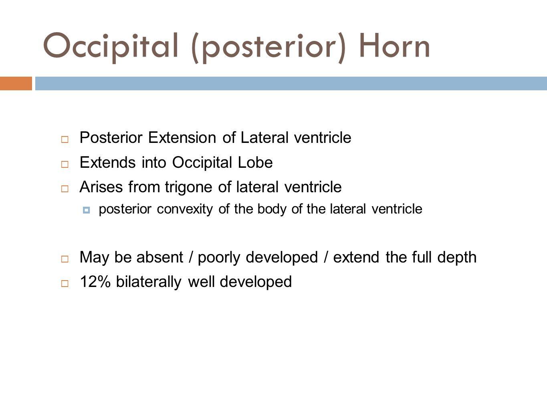 Occipital (posterior) Horn