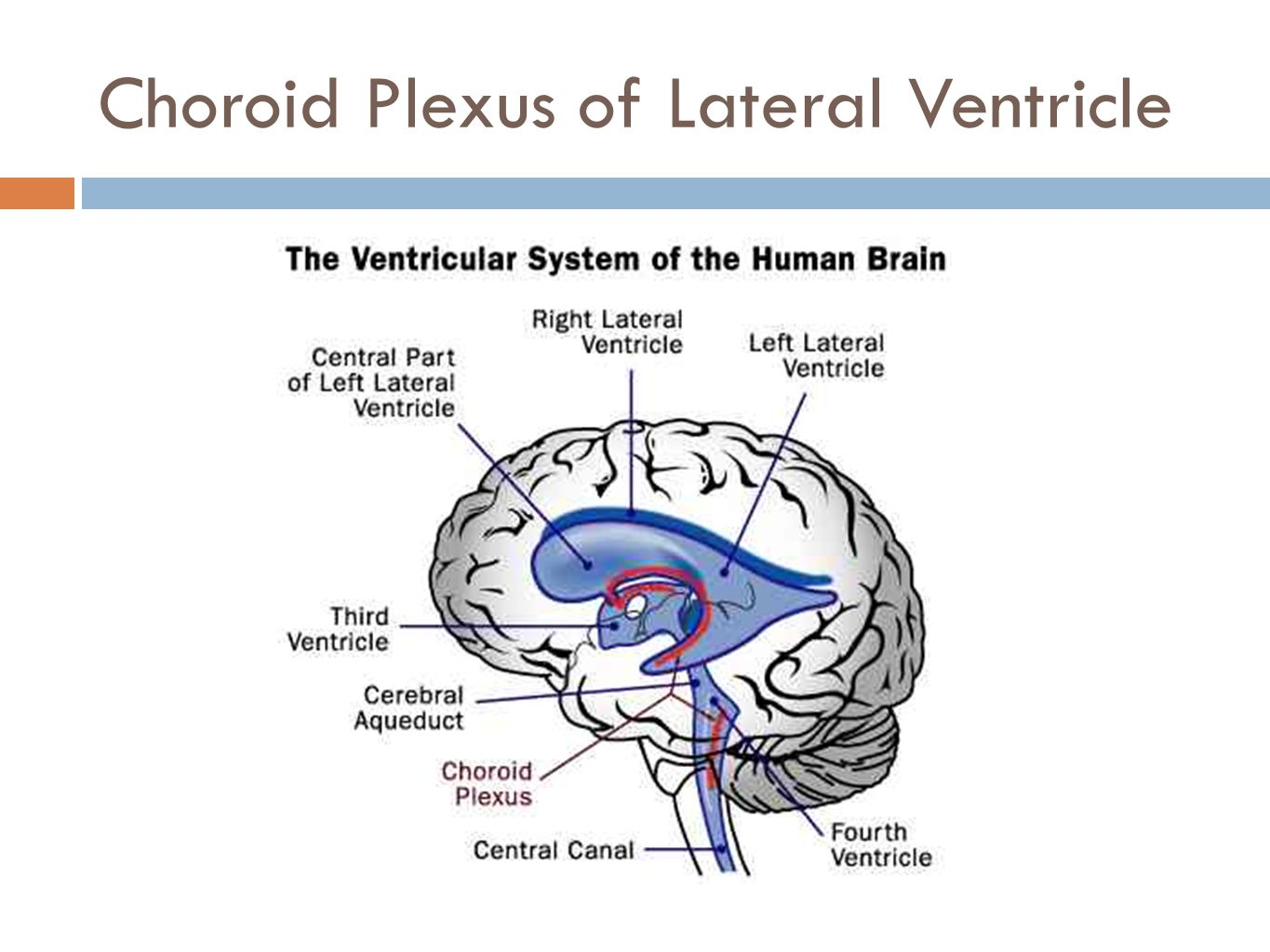 Choroid Plexus of Lateral Ventricle