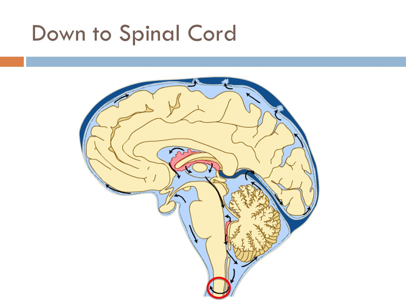 Down to Spinal Cord