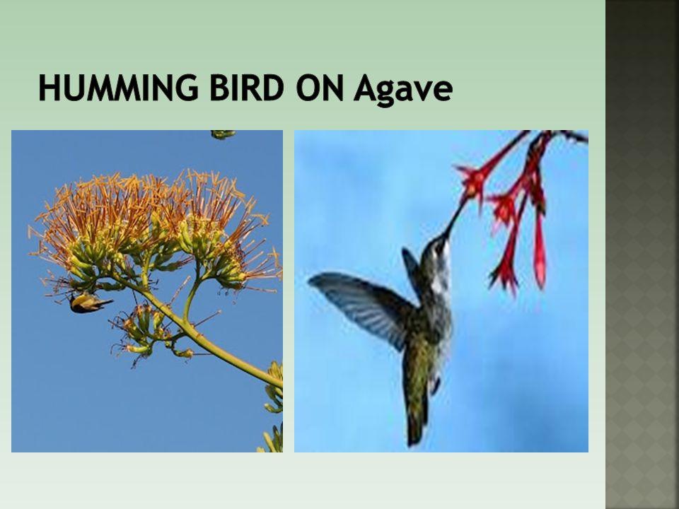 Humming bird on Agave
