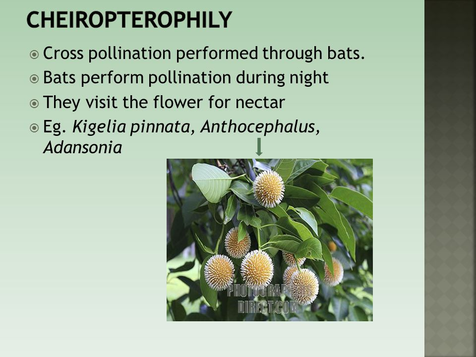 Cheiropterophily Cross pollination performed through bats.