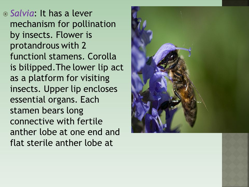 Salvia: It has a lever mechanism for pollination by insects