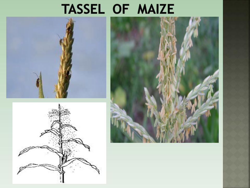 Tassel of maize