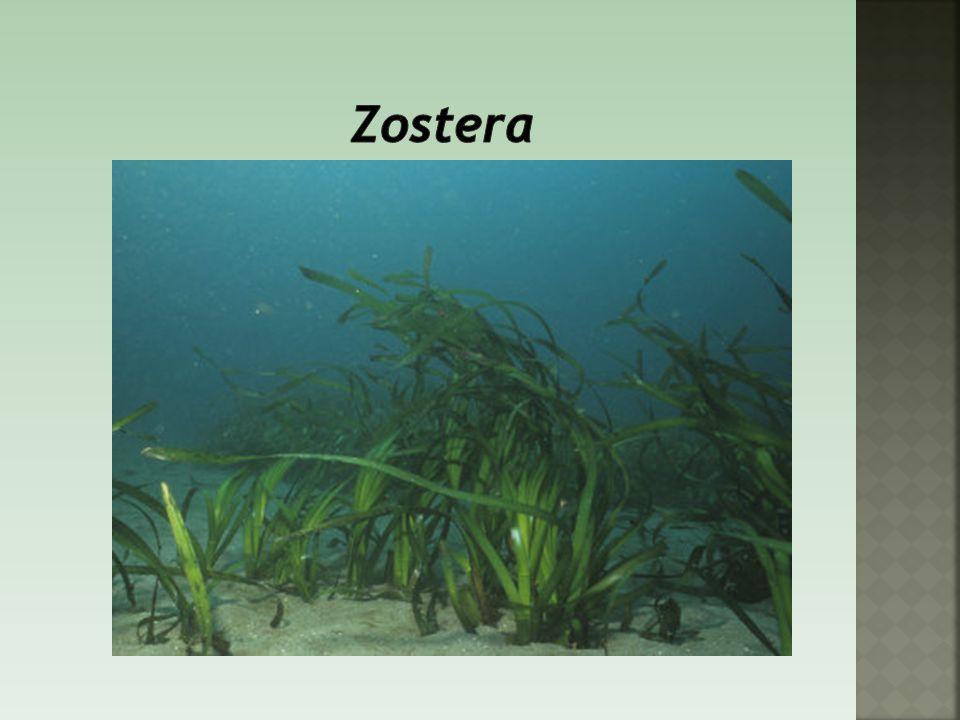 Zostera