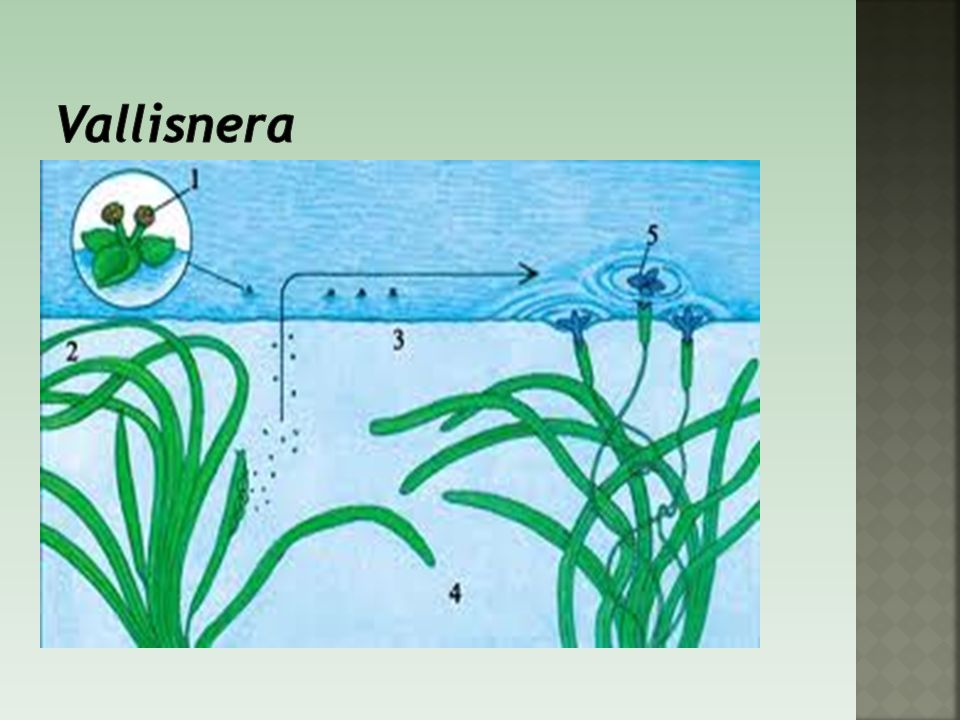Vallisnera