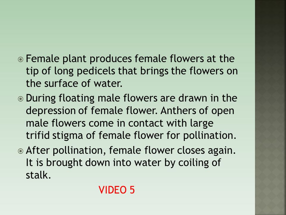 Female plant produces female flowers at the tip of long pedicels that brings the flowers on the surface of water.