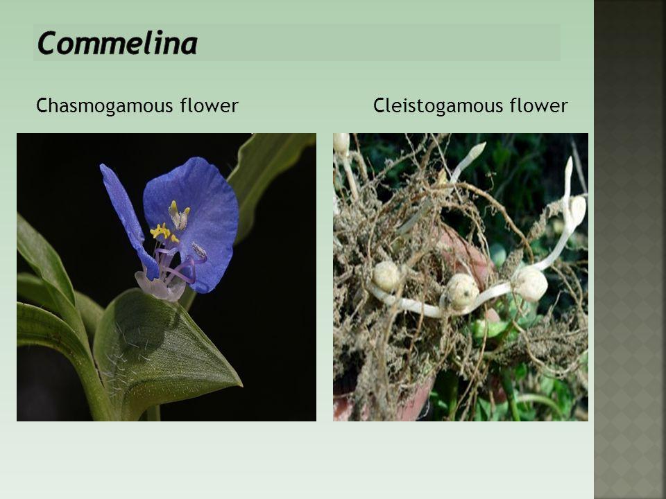 Commelina Chasmogamous flower Cleistogamous flower