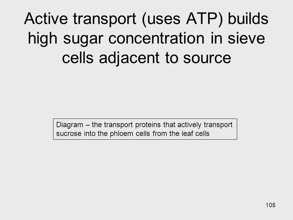 Active transport (uses ATP) builds high sugar concentration in sieve cells adjacent to source