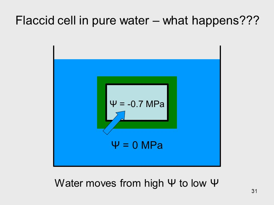 Flaccid cell in pure water – what happens