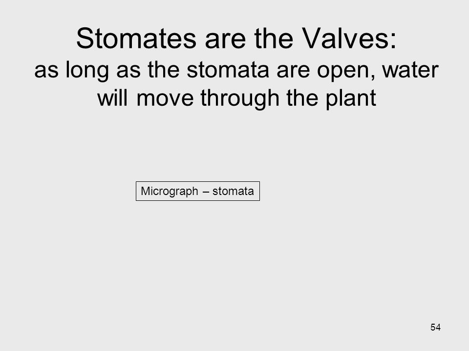 Stomates are the Valves: as long as the stomata are open, water will move through the plant