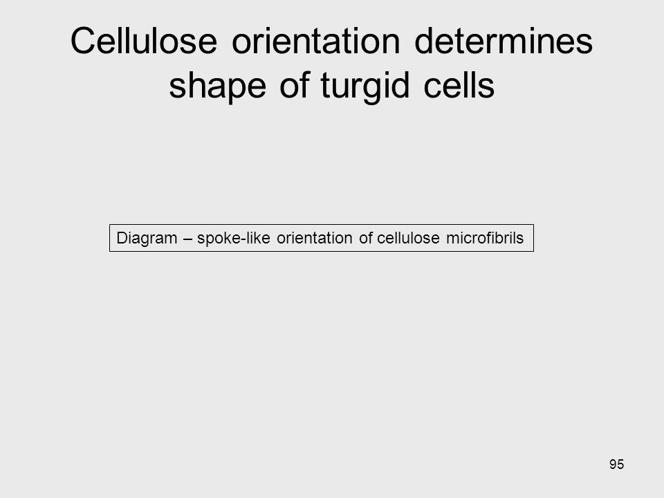 Cellulose orientation determines shape of turgid cells