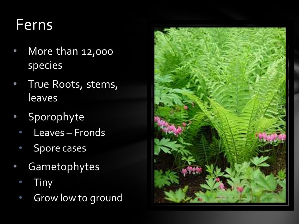 Ferns More than 12,000 species True Roots, stems, leaves Sporophyte
