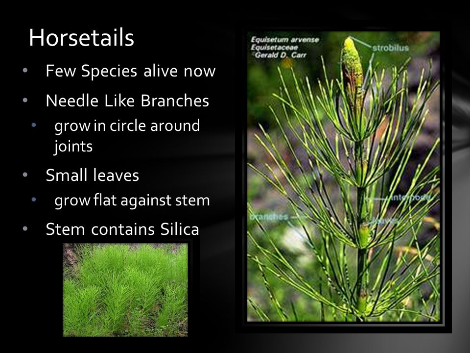 Horsetails Few Species alive now Needle Like Branches Small leaves