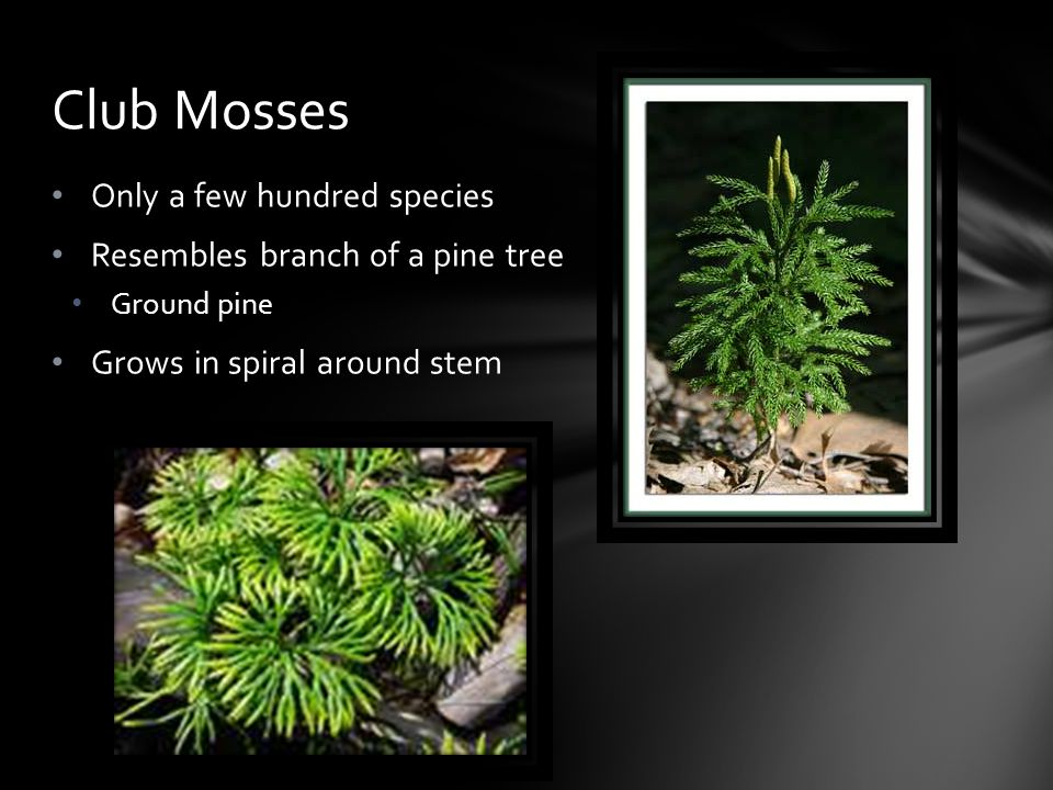 Club Mosses Only a few hundred species Resembles branch of a pine tree
