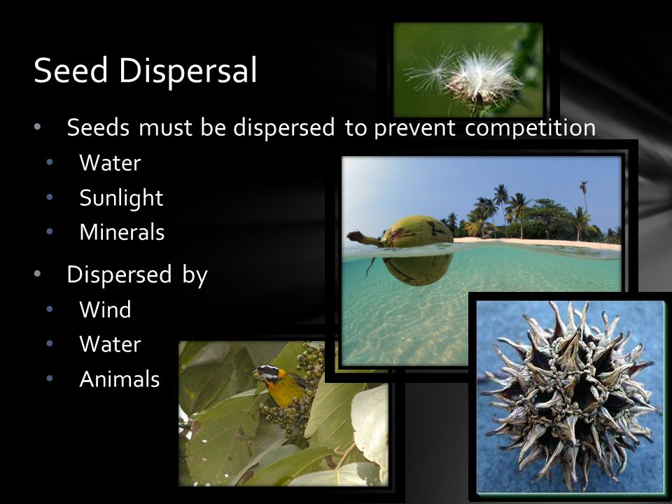 Seed Dispersal Seeds must be dispersed to prevent competition