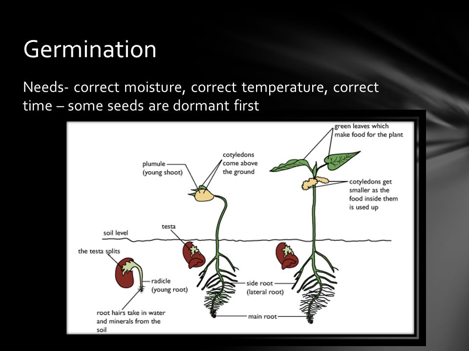 Germination Needs- correct moisture, correct temperature, correct time – some seeds are dormant first.