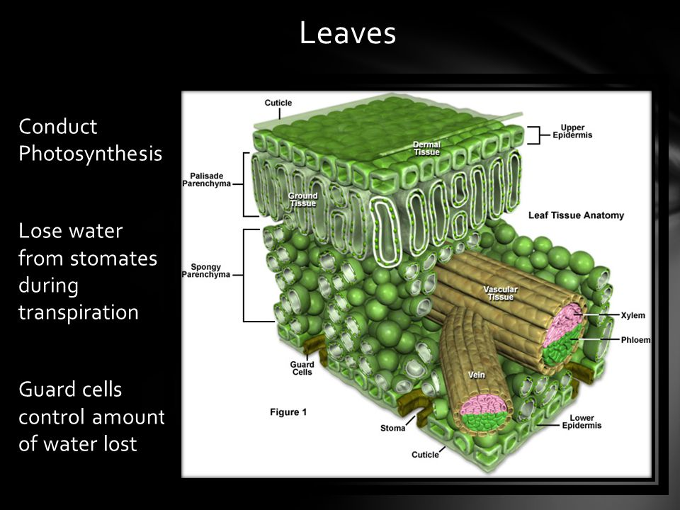 Leaves Conduct Photosynthesis Lose water from stomates during transpiration Guard cells control amount of water lost