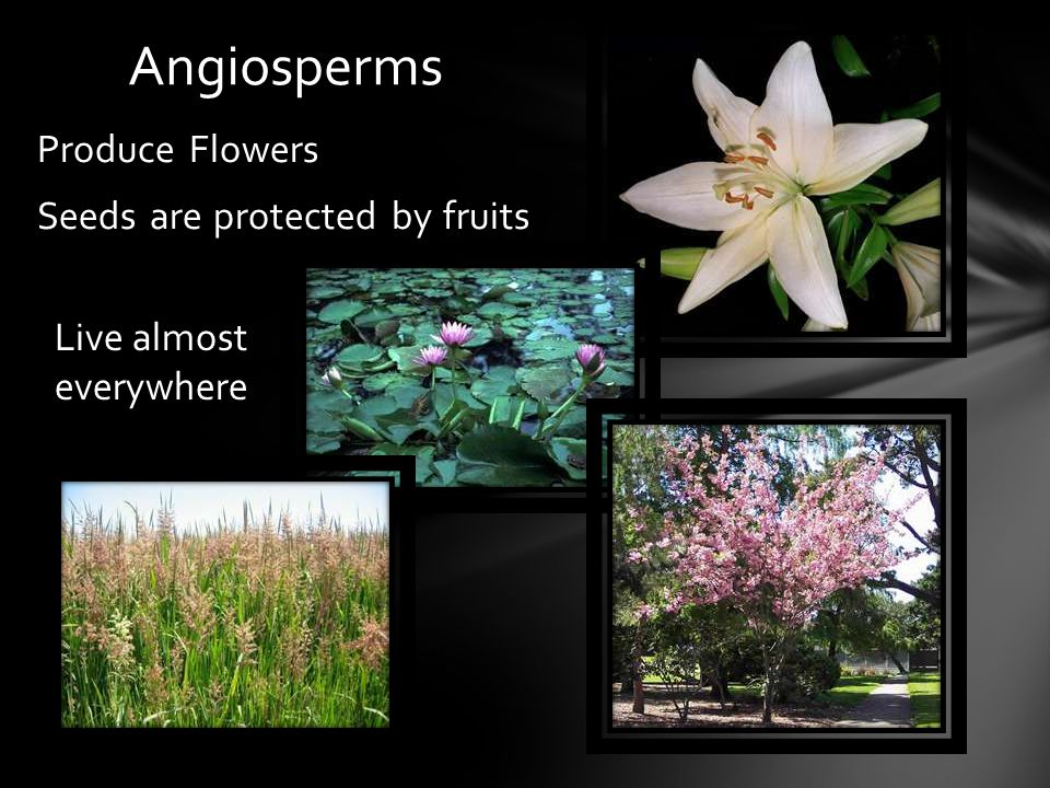 Angiosperms Produce Flowers Seeds are protected by fruits Live almost