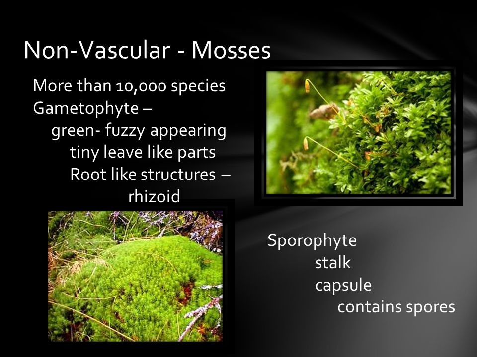 Non-Vascular - Mosses More than 10,000 species Gametophyte –