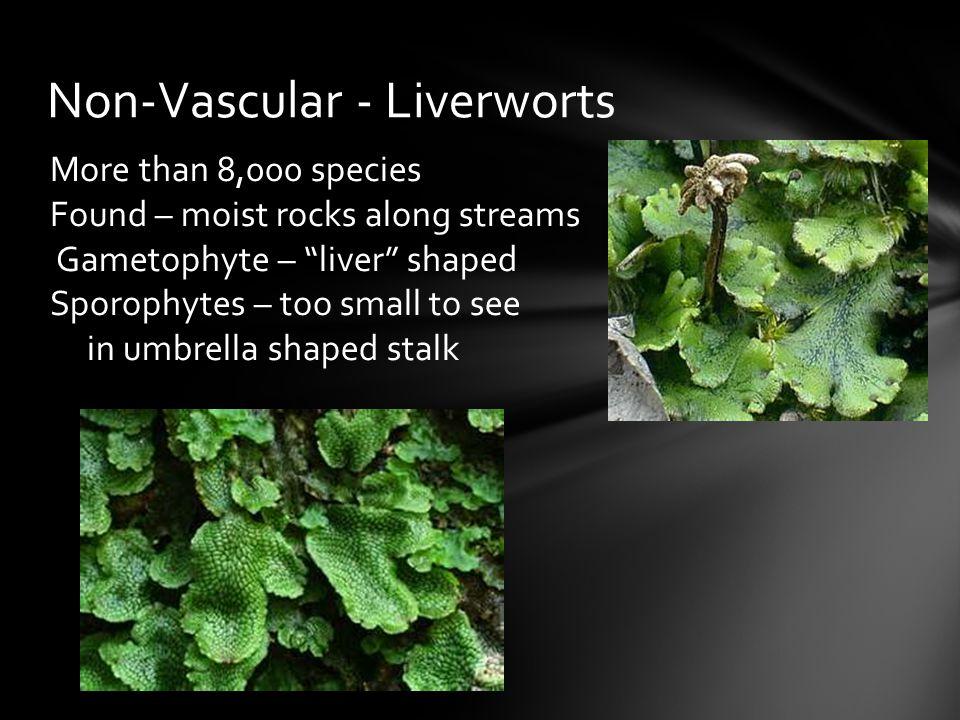 Non-Vascular - Liverworts