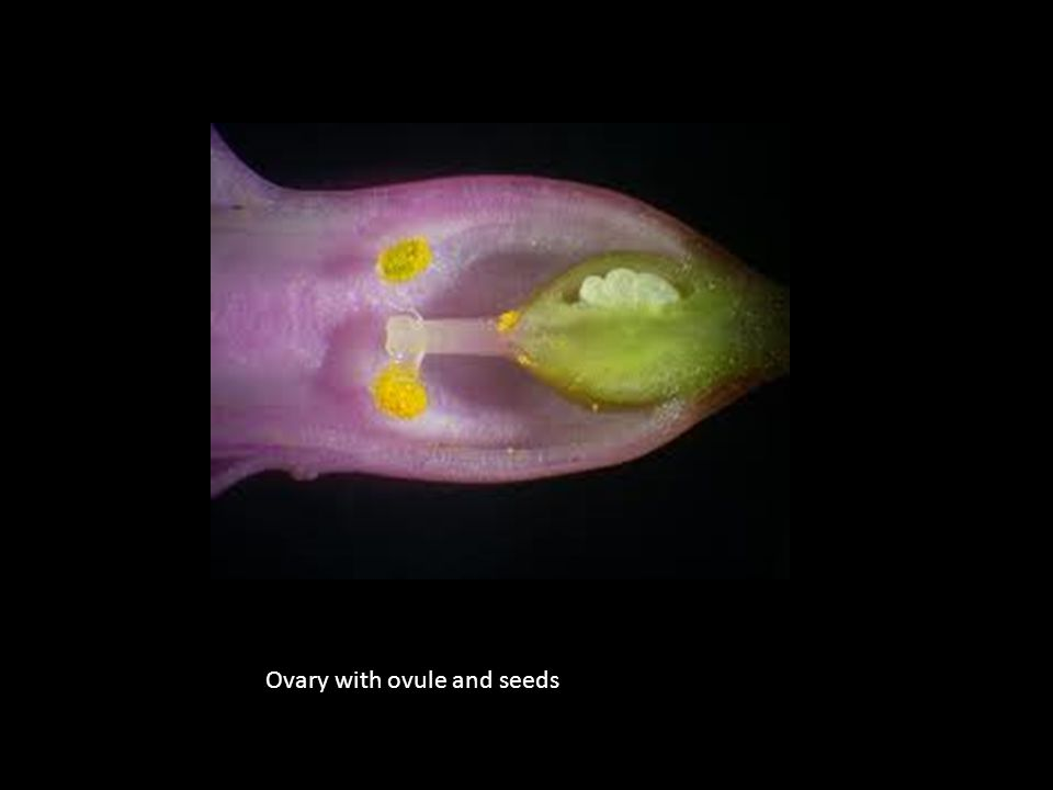 Ovary with ovule and seeds