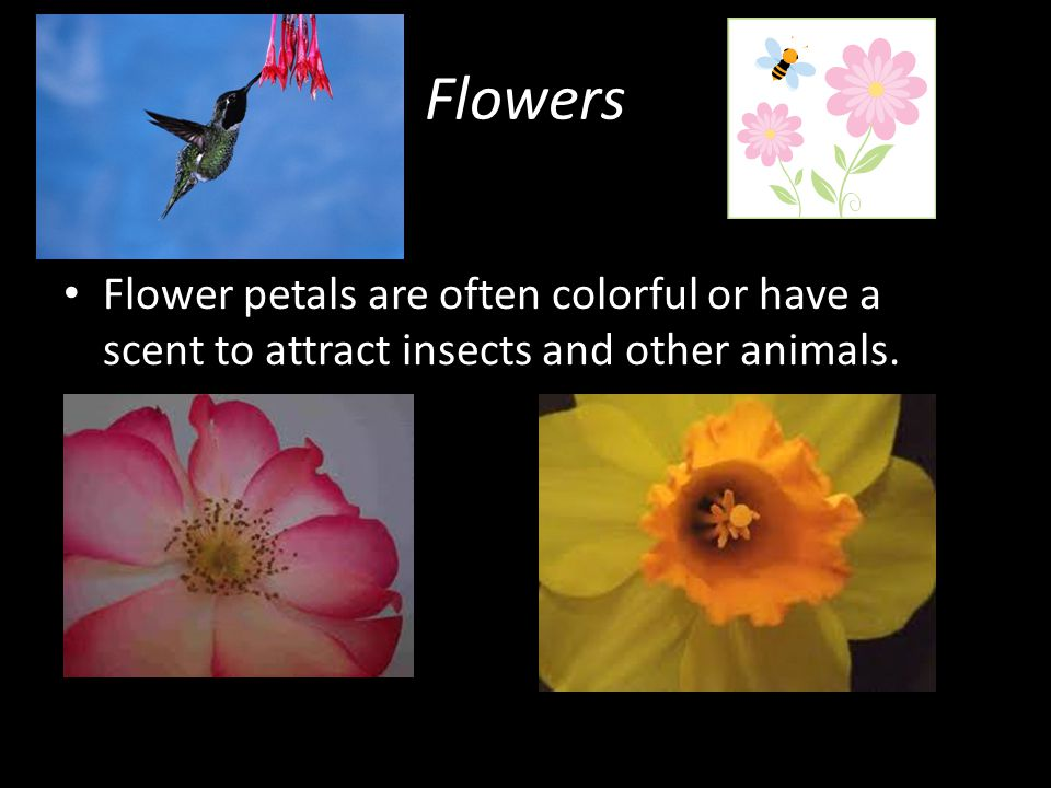 Flowers Flower petals are often colorful or have a scent to attract insects and other animals.