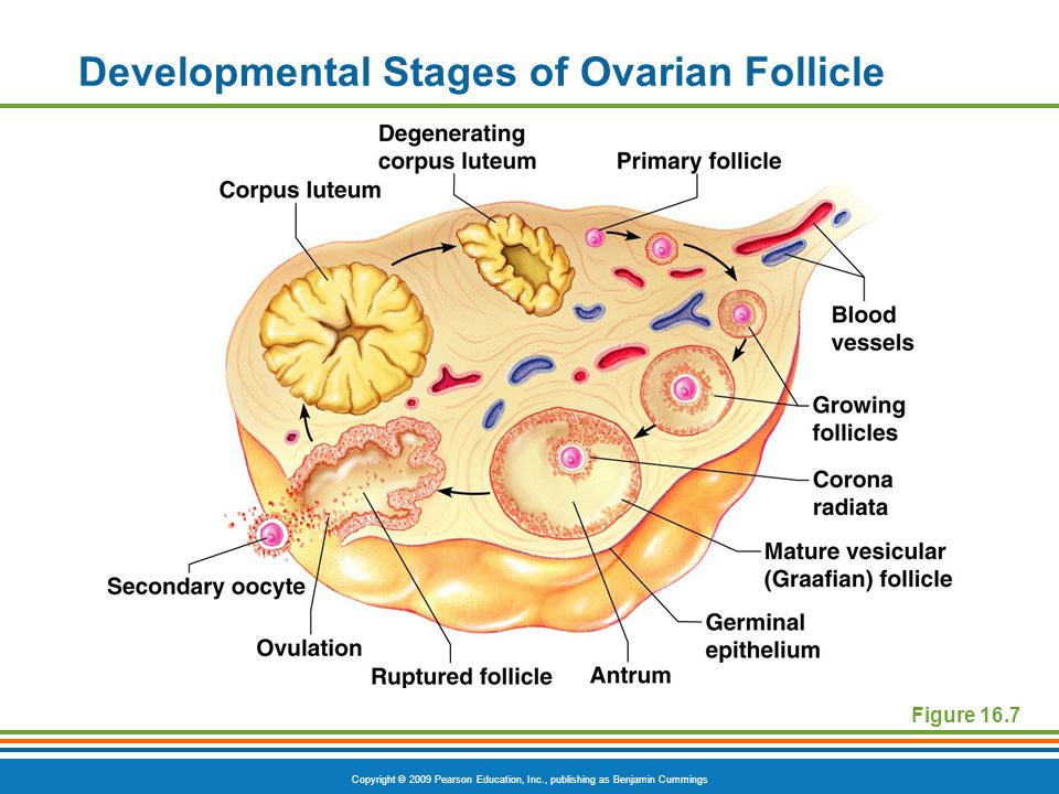 Developmental Stages of Ovarian Follicle