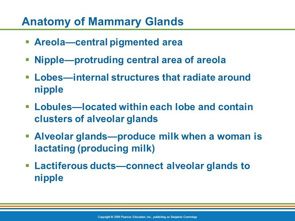 Anatomy of Mammary Glands