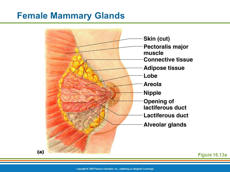 Female Mammary Glands Figure 16.13a