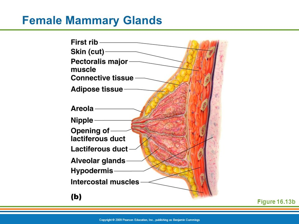 Female Mammary Glands Figure 16.13b