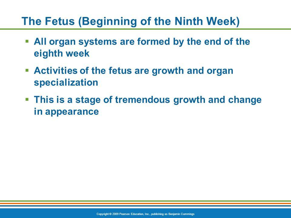 The Fetus (Beginning of the Ninth Week)