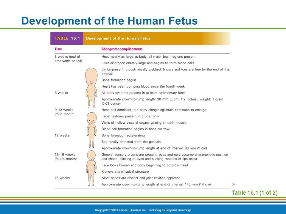 Development of the Human Fetus