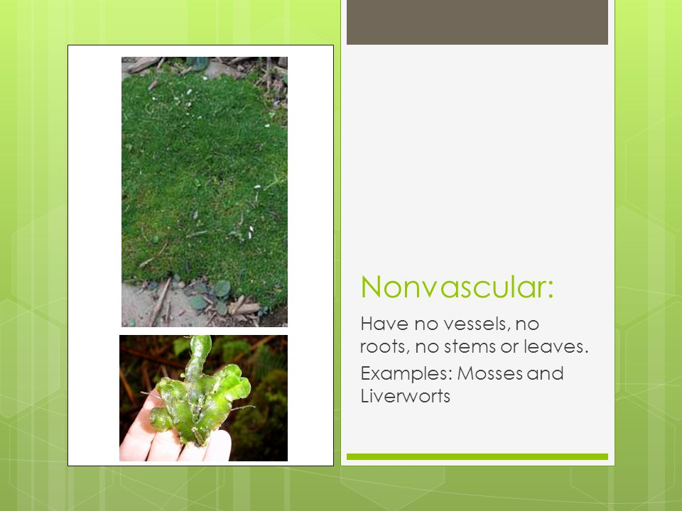 Nonvascular: Have no vessels, no roots, no stems or leaves.