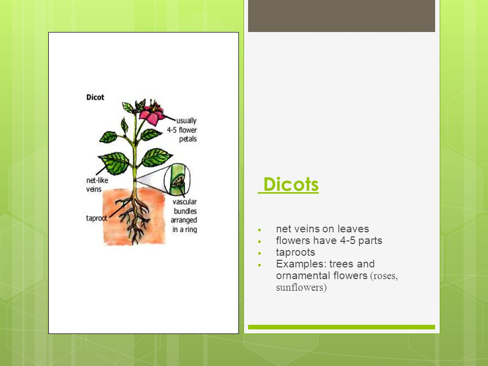 Dicots net veins on leaves flowers have 4-5 parts taproots